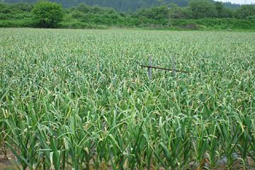 にんにく畑