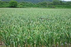 新鮮なにんにく畑