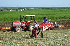 にんにく収穫風景
